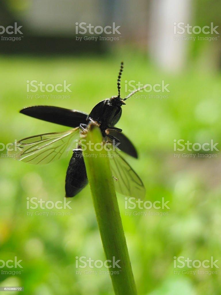 Click beetle starts to fly zbiór zdjęć royalty-free