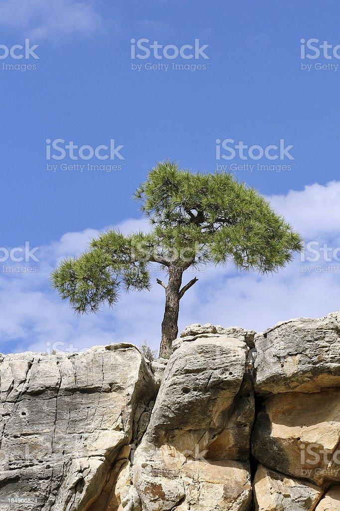 Cliff Pine stock photo