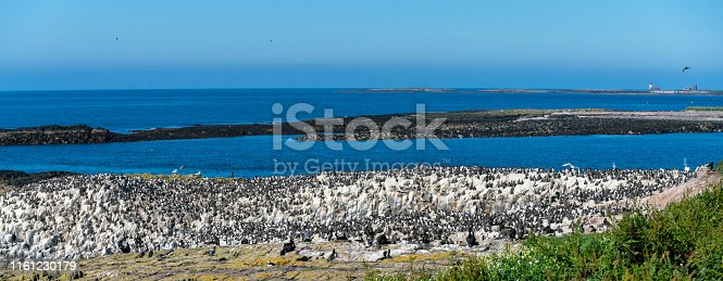 Guillemots on the island cliffs of the Farne Islands. In the foreground is undergrowth acting as cover for puffin burrows and tern nests.