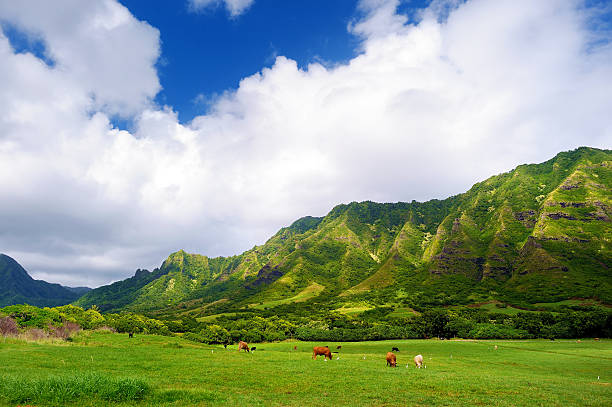 Cliffs and cows of Kualoa Ranch, Oahu Cliffs and cows of Kualoa Ranch, Oahu, Hawaii ranch stock pictures, royalty-free photos & images