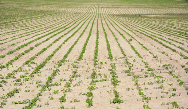 Climate Change and Global Warming. Drought on soy field. Climate Change and Global Warming. Drought on soy field. university of missouri columbia stock pictures, royalty-free photos & images