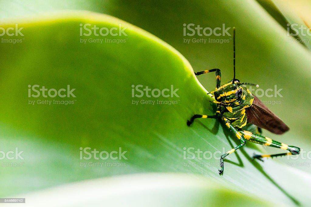 Climber Grasshopper stock photo