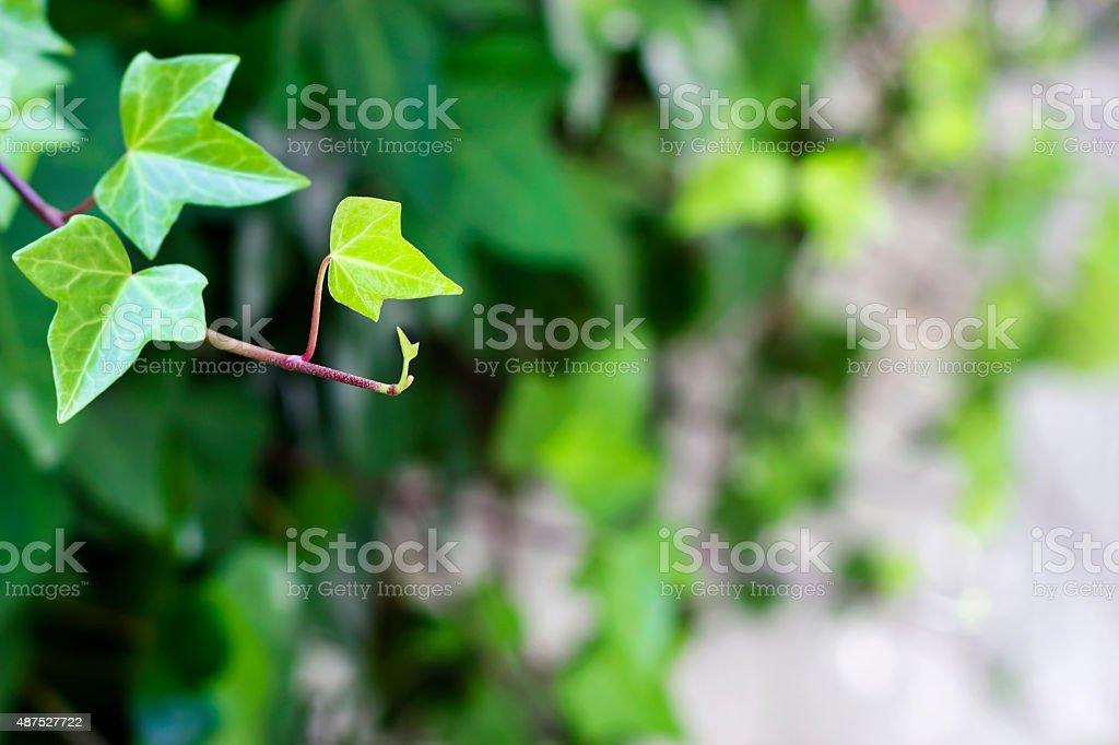 Escalador hojas - foto de stock