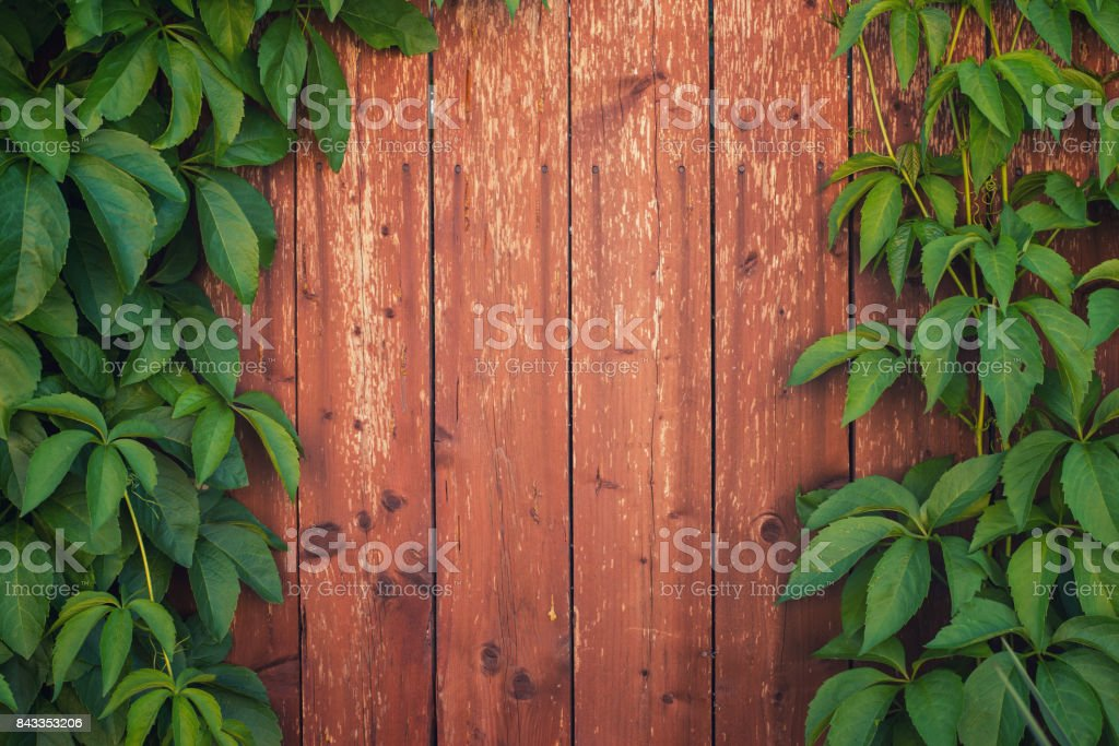 Climber plant growing on the wooden fence in summer stock photo