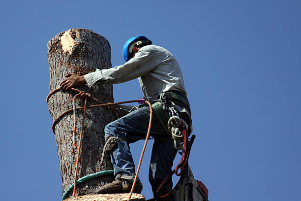 Climbing a tall tree removal job Climbing to the top of a tree. Dangerous occupations tree removal. hedge clippers stock pictures, royalty-free photos & images