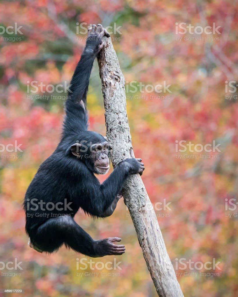 Climbing Chimp II stock photo