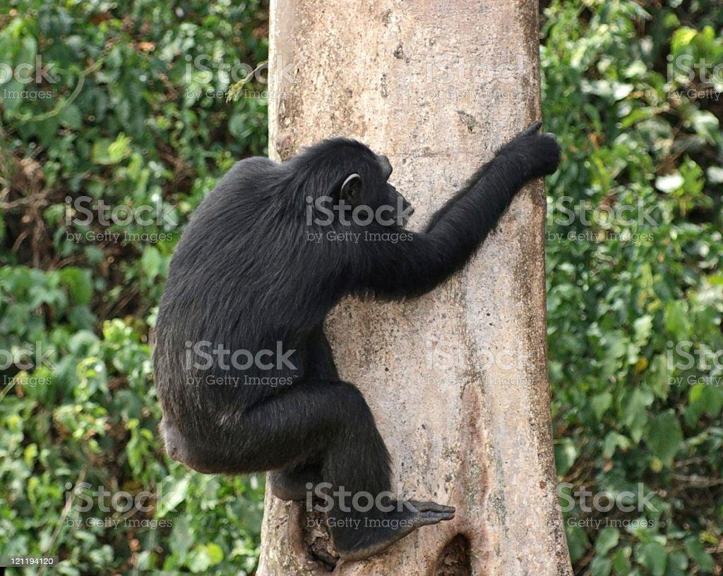 climbing chimpanzee royalty-free stock photo