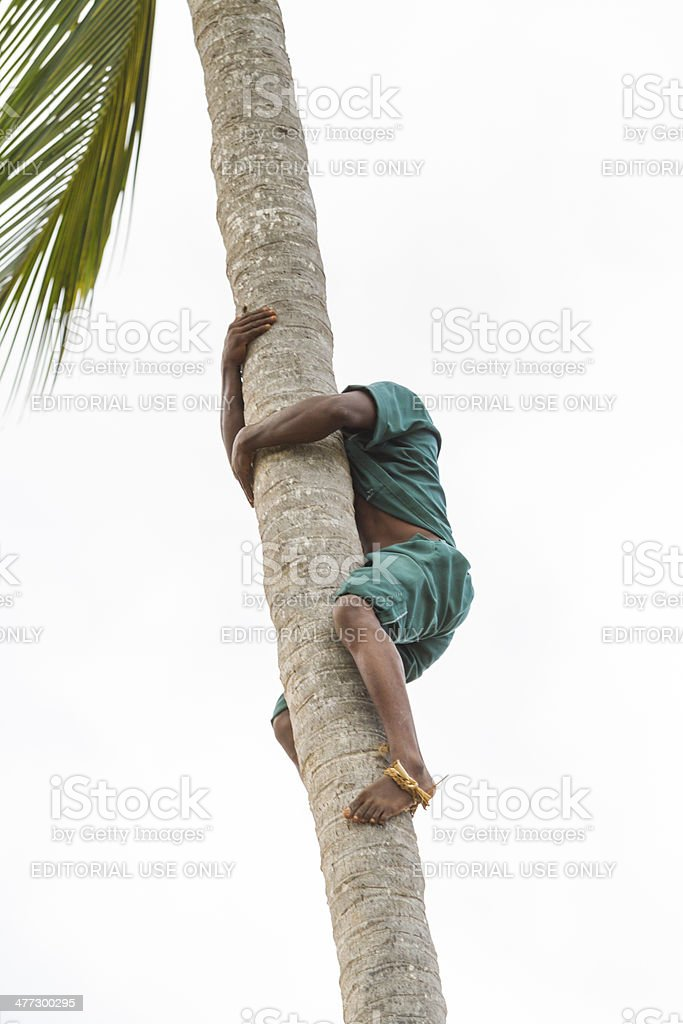 Climbing Coconut Palm and collecting fruits royalty-free stock photo