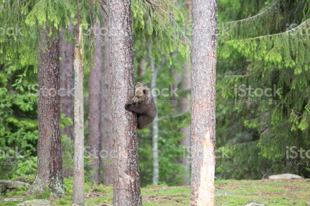 'Climbing Cub' stock photo