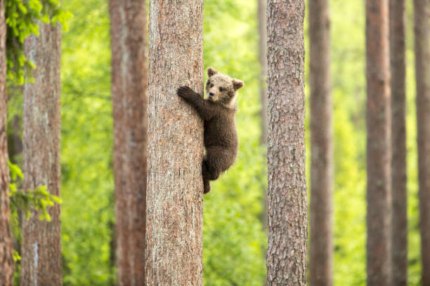'climbing cub' - wildlife conservation stock photos and pictures