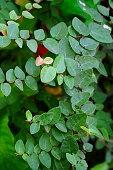 istock Climbing Fig leaf 1324237891