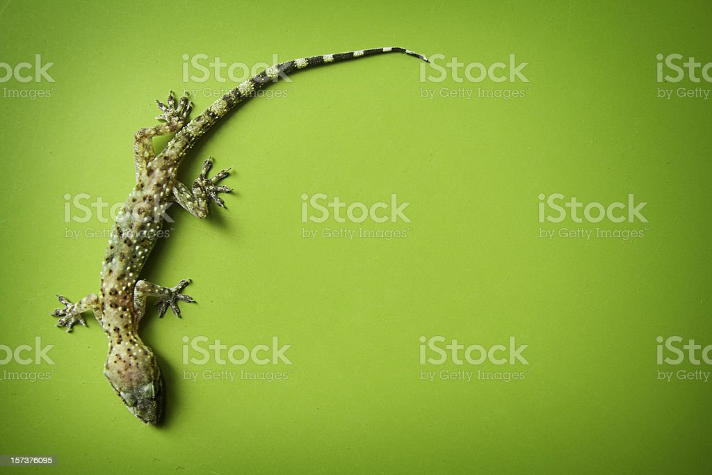 Climbing Gecko on Green Background royalty-free stock photo