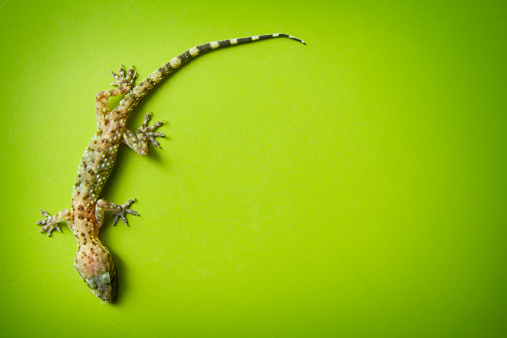 Young crested (Caledonian) gecko on leaf, isolated on black background