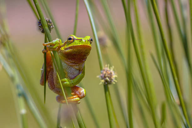 climbing green european tree frog - croak stock pictures, royalty-free photos & images