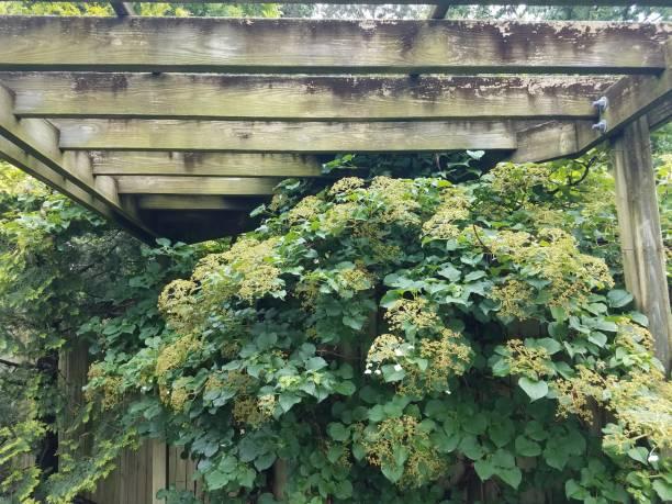 climbing hydrangea on wood trellis stock photo