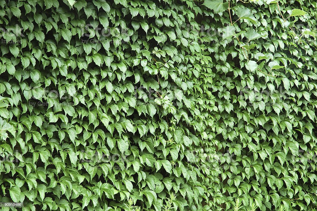 climbing ivy stock photo