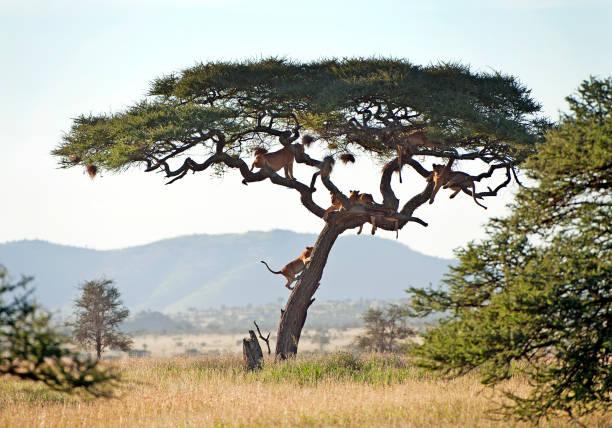 Climbing lions serengeti national park tanzania picture id1040500466?b=1&k=6&m=1040500466&s=612x612&w=0&h=toyj65hgeu3zjauiut3swobc6wwwylnmxbu j3vlbgu=