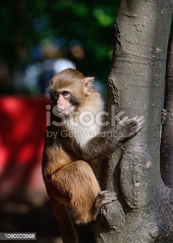 A monkey was climbing up on the tree. This is a wild macaque population, They live in the hills and  woods of Guilin, It already has more than 43 years.