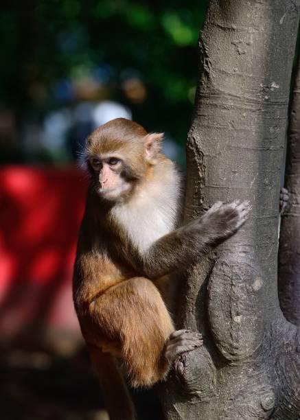climbing monkey - macaco foto e immagini stock