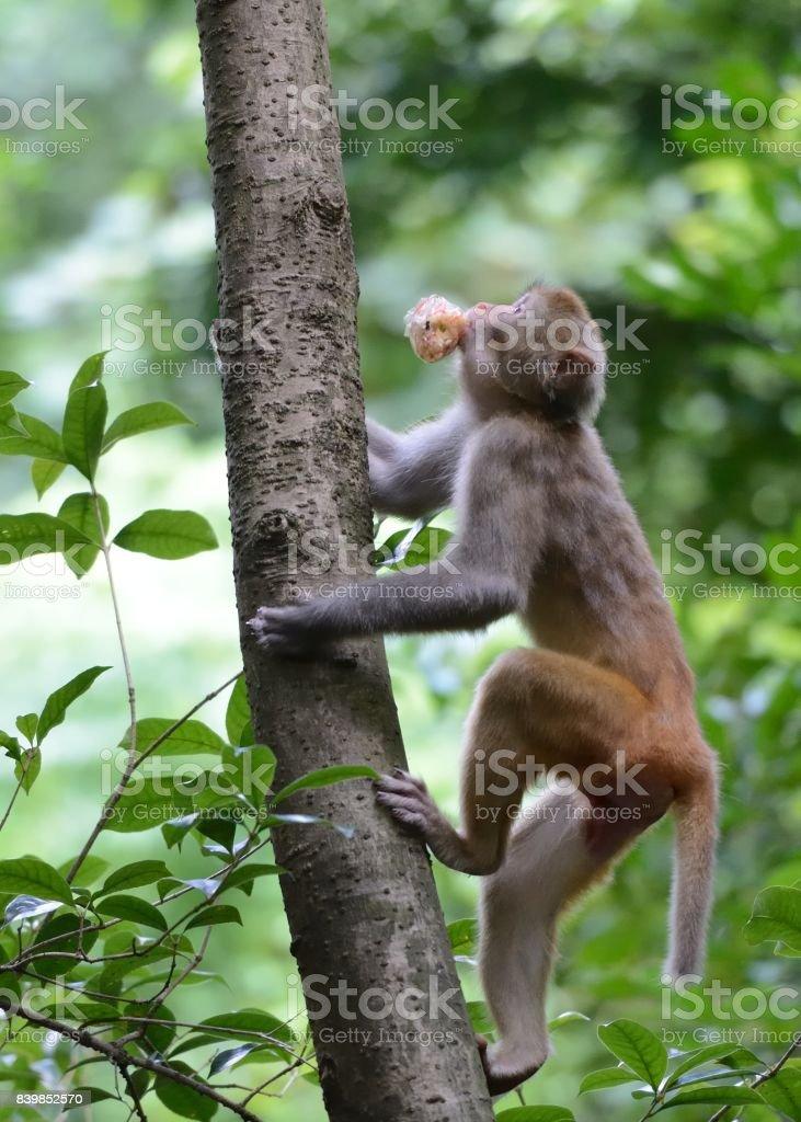 Klettern monkey – Foto