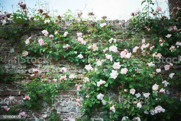 Climbing pale pink rose on an old brick wall picture id1015508120?b=1&k=6&m=1015508120&s=612x612&h=c3qqokrkvjyruv3sttlti1btavirye8xlrrodbt01tw=