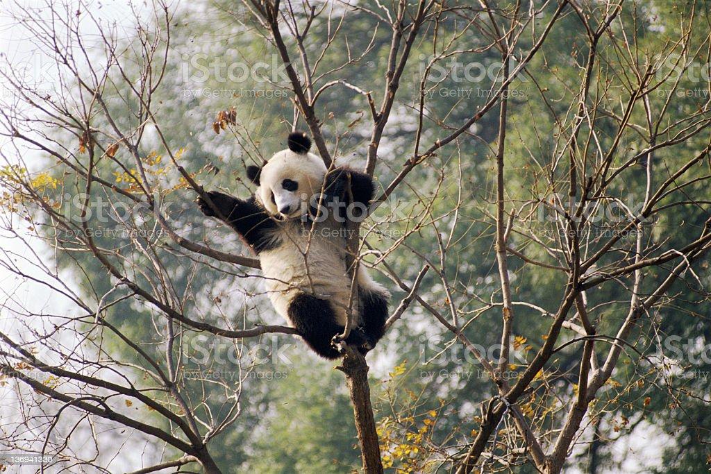 Climbing Panda stock photo