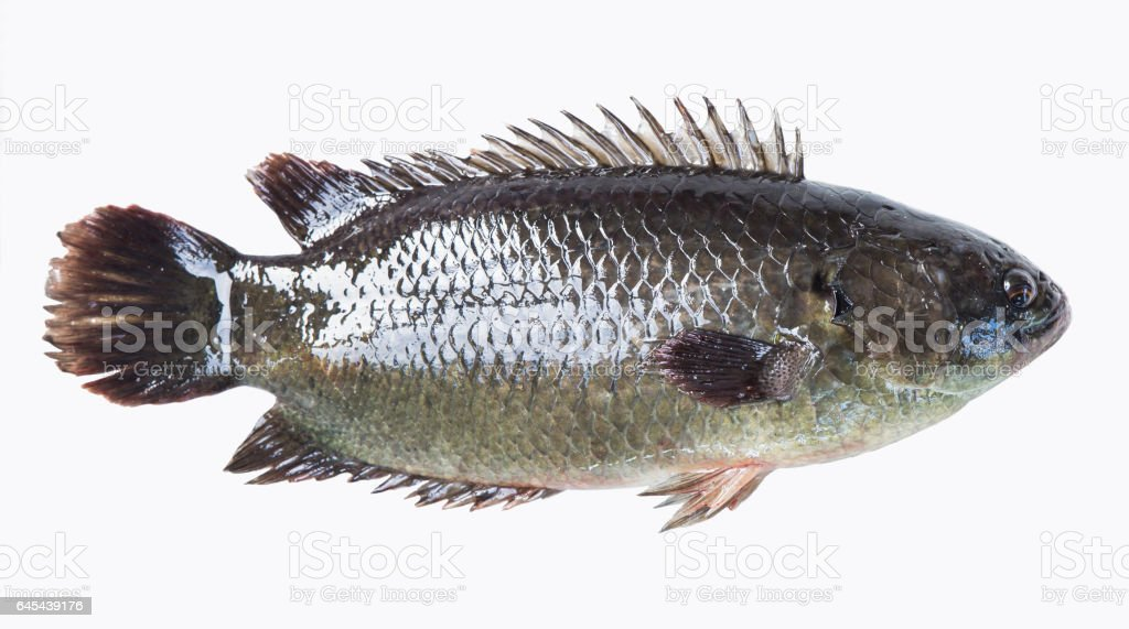 Climbing Perch Fish Stock Photo More Pictures Of Animal Fin Istock