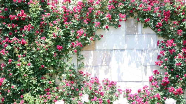 Kletter-Rosa und rote rose blühen – Foto