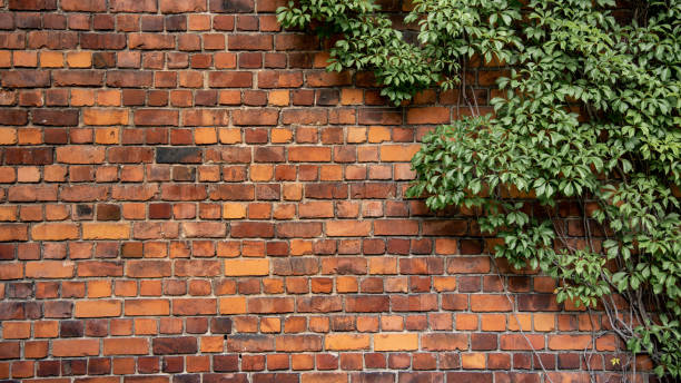 Kletterpflanze wächst an antiker Backsteinwand – Foto