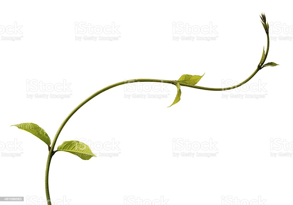 Climbing plant isolated on white. stock photo