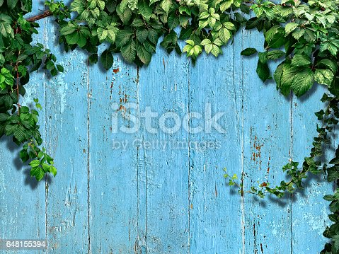 istock climbing plant on a blue old wooden fence 648155394