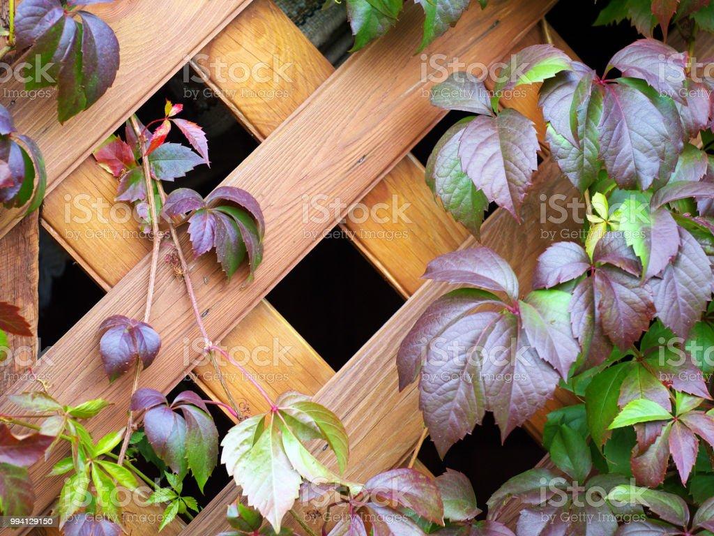 Fabriquer Treillis Bois Pour Plantes Grimpantes photo libre de droit de plante grimpante sur un treillis en