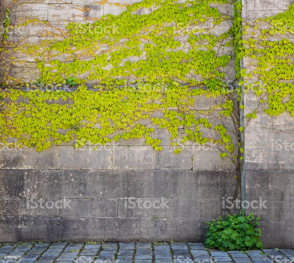 climbing plants on old wall outdoor background つる性植物の