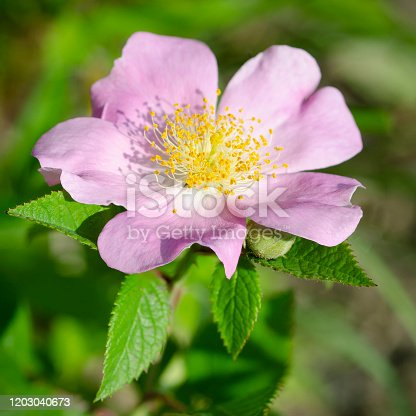 Climbing prairie rose, Rosa setigera, distinguised from other prairie roses by tall pistil. Wisconsin, USA.