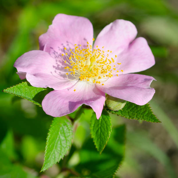 climbing prairie rose, Rosa setigera stock photo