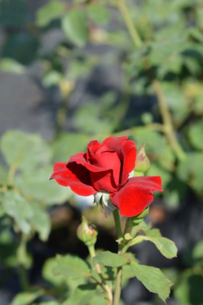 Climbing red rose don juan picture id1173385523?b=1&k=6&m=1173385523&s=612x612&w=0&h=merldakt jfysoo3osxpdhjtcwuppwx ywsu8bjcf0w=
