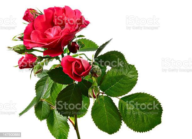 Climbing rose isolated on white picture id147500885?b=1&k=6&m=147500885&s=612x612&h=vrrsxh0h4ewmz7vw33ywcowimud3vwgeb50sgdf2jxg=