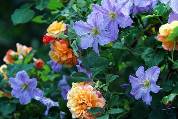 Climbing roses and clematis picture id1013029572?b=1&k=6&m=1013029572&s=612x612&w=0&h=zos8x7mvw8ssvh9ymaxqa20kplctq2chpgs6o1qcgqi=