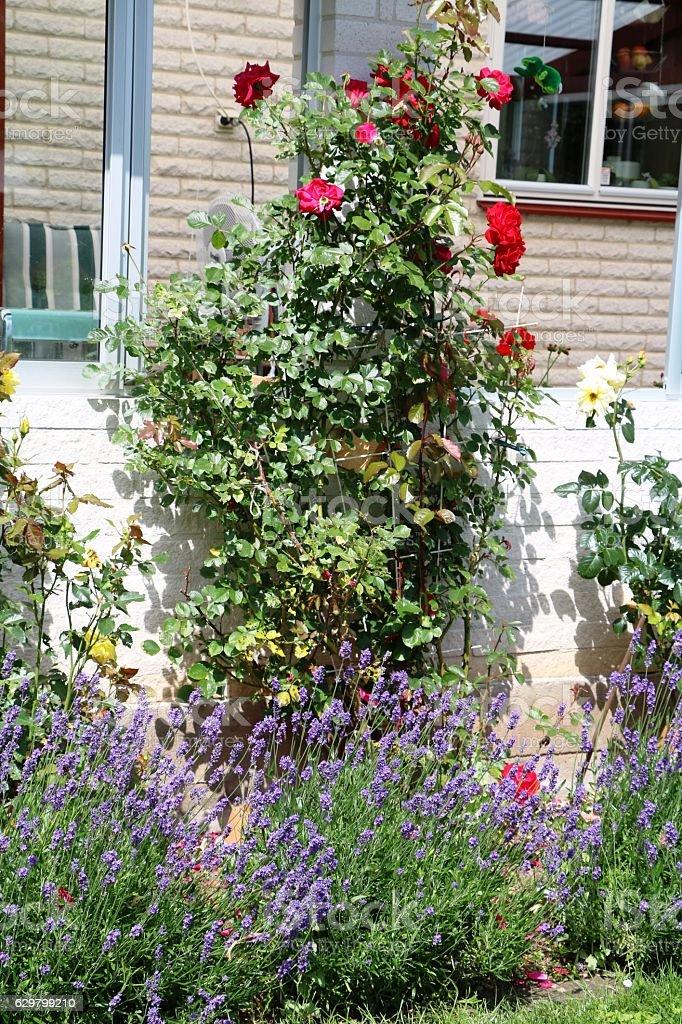 Climbing roses and Lavandula angustifolia in garden, Sweden Scandinavia stock photo