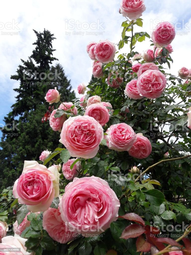 Climbing roses royalty-free stock photo