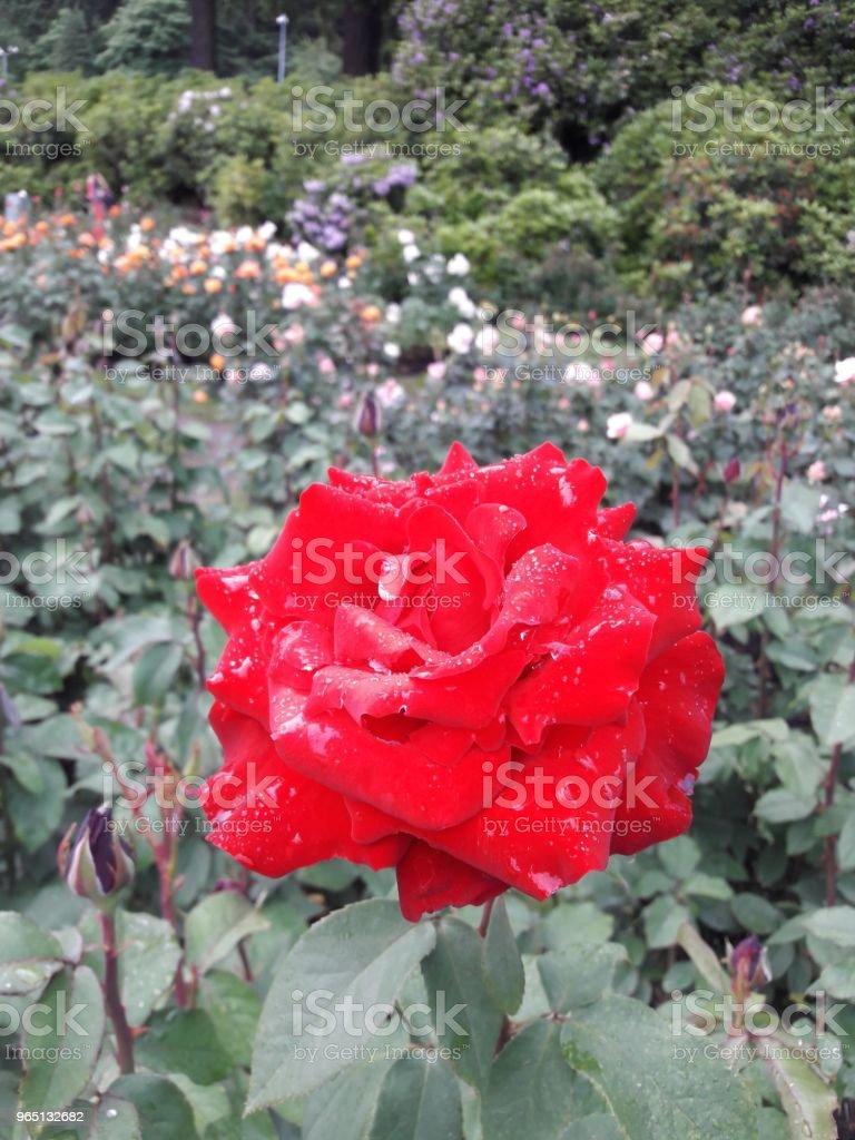 Climbing roses zbiór zdjęć royalty-free