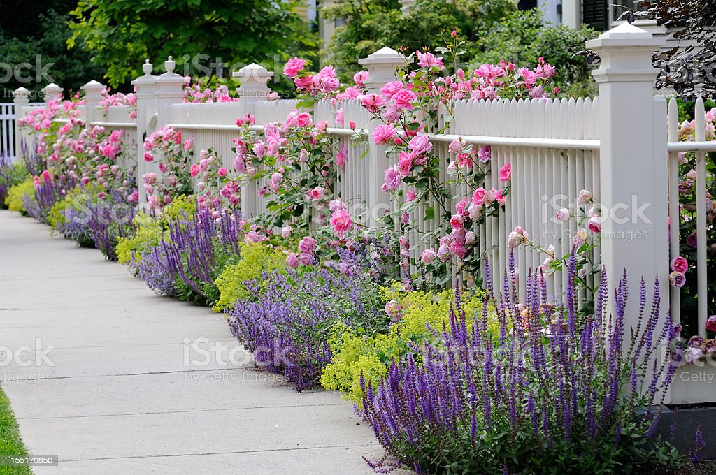 Climbing Roses, White Fence royalty-free stock photo