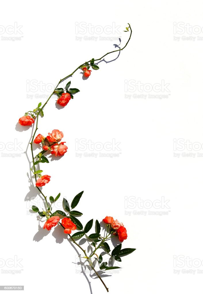 Climbing small roses. Space for text. stock photo