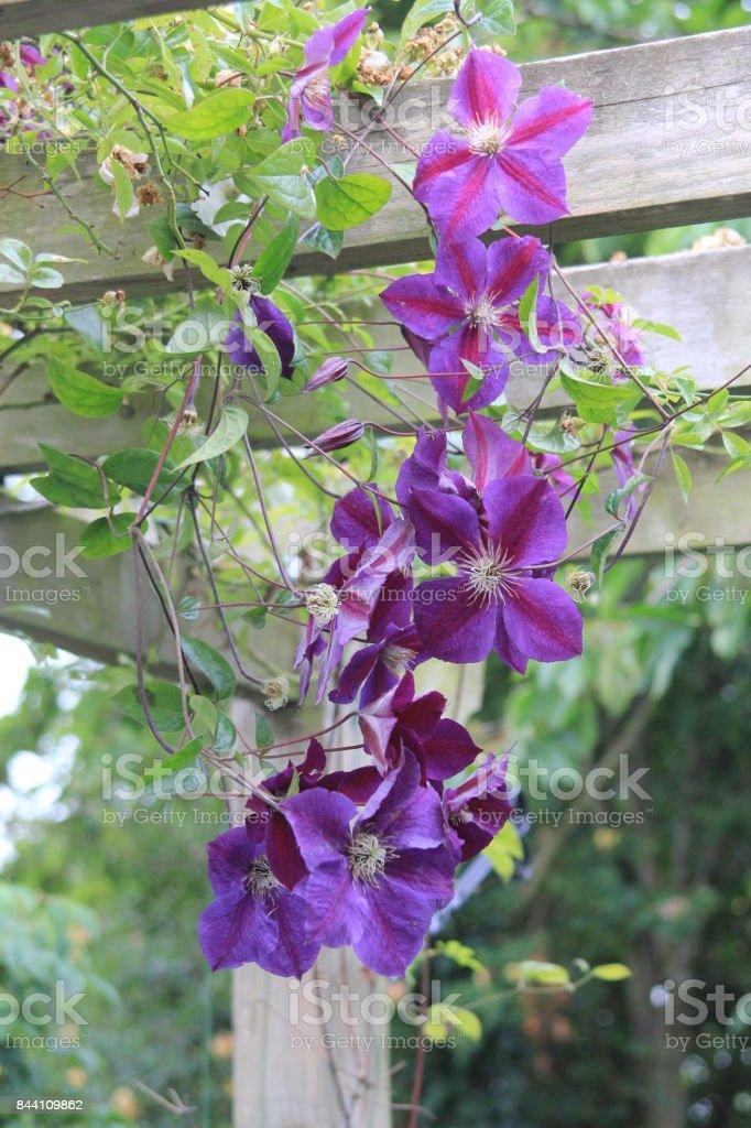 Climbing vibrant purple clematis flowers stock photo