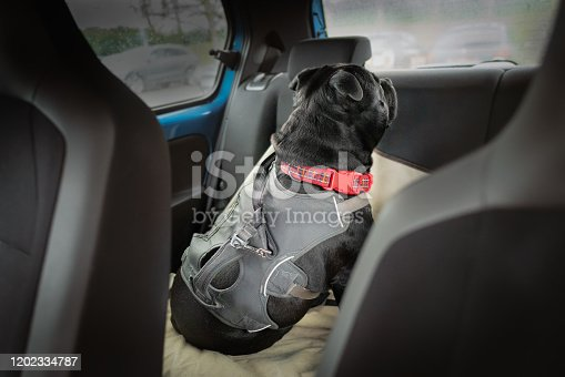 Clip and strap attached to the harness of a Staffordshire Bull Terrier dog who is in the back of a car looking out of the back window. He is sitting on a car seat cover.