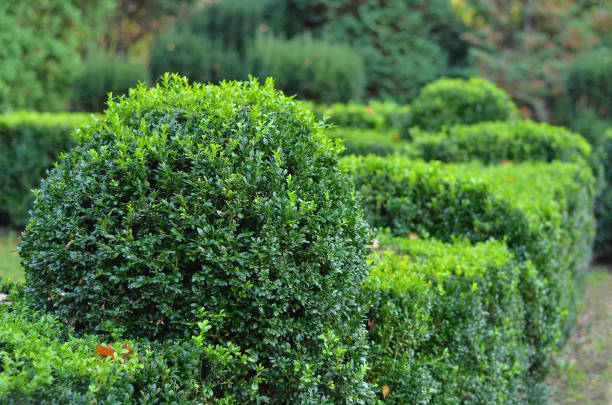 Clipped Buxus sempervirens stock photo