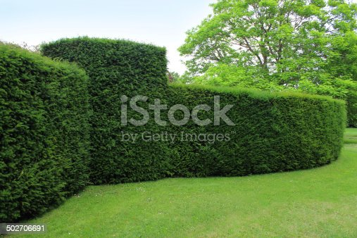 Photo showing a large and rather curving clipped English yew hedge, which is part of a formal topiary garden.  The Latin name for this variety of common yew is: Taxus baccata.