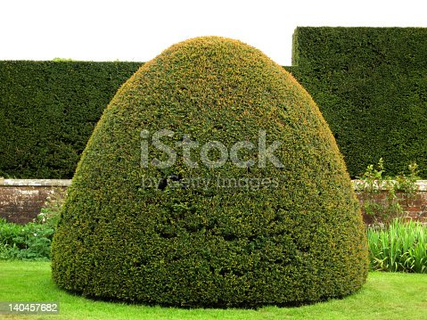 Beautiful clipped yew dome with clipped ehdge behind
