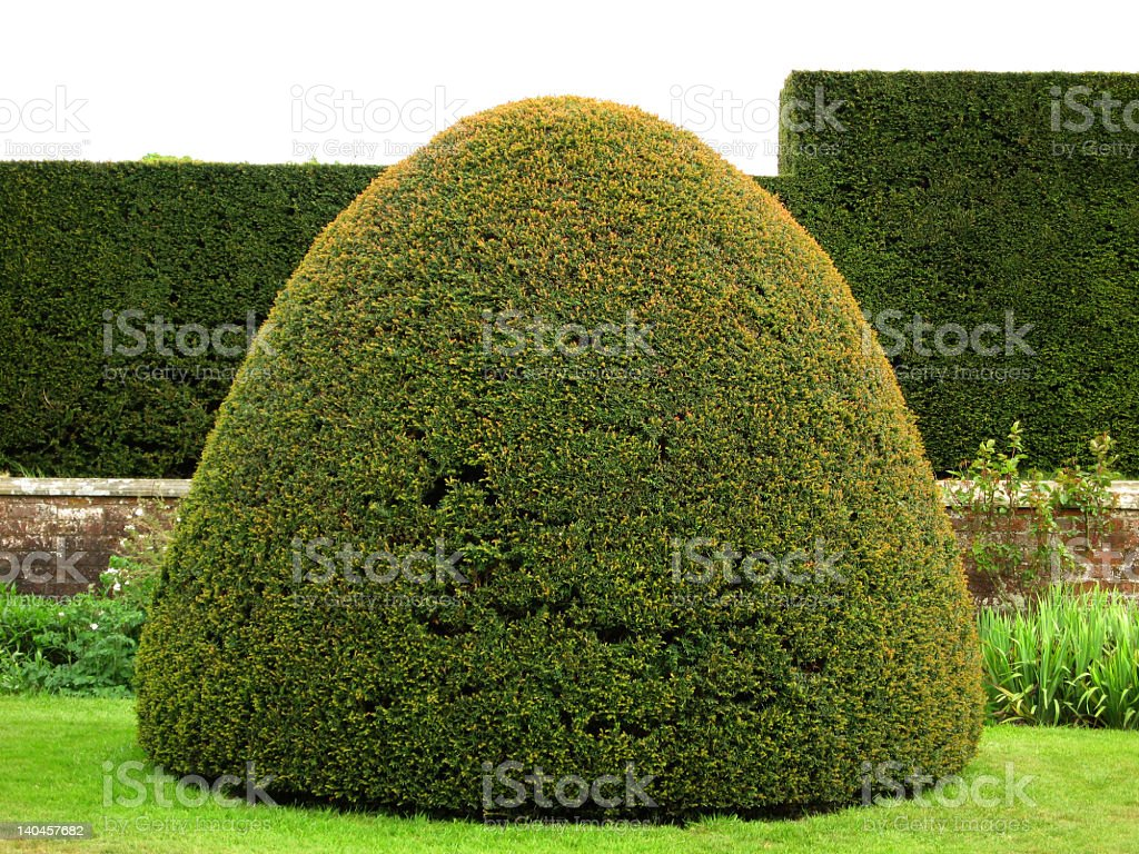 clipped yew stock photo