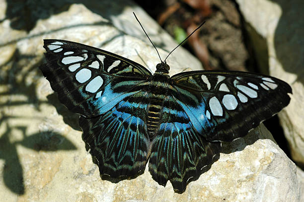 que suis -je ? ajonc 15 février Bravo Martine  Clipper-butterfly-parthenos-sylvia-picture-id90682601?k=6&m=90682601&s=612x612&w=0&h=juMF2Jf3y-rG-fOggZmphLz3HAOxzwPSHpDvDwiSlQY=